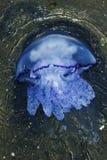 Manet (Rhizostoma pulmo) Royaltyfri Bild