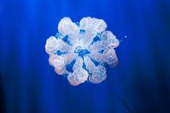 Maneten i ett akvarium med blått bevattnar Arkivbilder