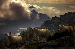 Manfår och dimma Royaltyfria Bilder