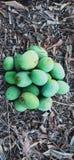 Manga natuaral frescas verdes imagens de stock royalty free