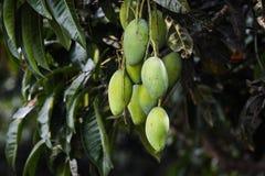 Manga suculentas do fruto de pedra fotos de stock