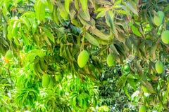 Manga verdes que penduram em uma árvore de manga fotografia de stock royalty free