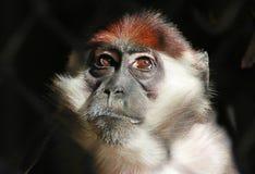 Mangabe Monkey Royalty Free Stock Photos