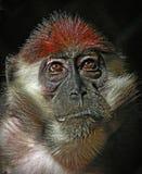 Mangabe Monkey Royalty Free Stock Photo
