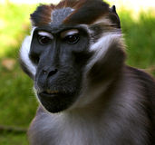 Mangabey. Monkey, unusual eyes Royalty Free Stock Photos
