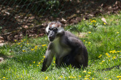 Mangabey. A Cherry-Crowned Mangabey Monkey royalty free stock photo