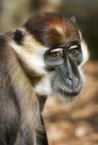 Mangabey Monkey, Cercocebus Torquatus. Stock Image
