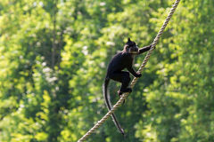 Mangabey rope Stock Photos