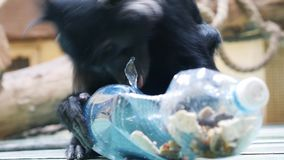 Mangabey trying to crack a plastic bottle. Black crested mangabey trying to crack a plastic bottle, with treats inside stock video footage