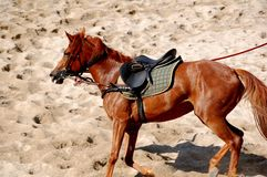 Horse Training. A young  mangalarga horse on lunge in the arena Stock Image
