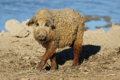 Mangalica domestic pig on the farm. Mangalica a Hungarian breed of domestic pig Stock Image