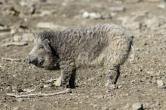 Mangalica a Hungarian breed of domestic pig. Mangalica a cute Hungarian breed of domestic pig Stock Image