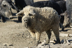 Mangalica a Hungarian breed of domestic pig. On the farm Royalty Free Stock Images