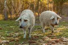 Breed of curly pigs Royalty Free Stock Images