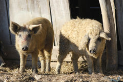 Mangalica a Hungarian breed of domestic pig. Two Mangalica a Hungarian breed of domestic pigs Stock Images