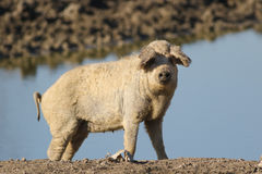 Mangalica a Hungarian breed of domestic pig. On the watering place Royalty Free Stock Image