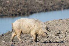 Mangalica a Hungarian breed of domestic pig. On the watering place Stock Images