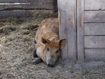 Mangalica - the Hungarian pig. Special kind of pig in Hungary, named mangalica Royalty Free Stock Photo