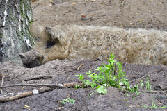 Mangalica. In a muddy pool Royalty Free Stock Images