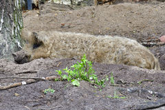 Mangalica. In a muddy pool Royalty Free Stock Photography