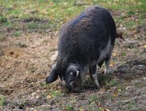 Mangalica pig, Sus scrofa domesticus. Close up Mangalica pig on field Royalty Free Stock Photo