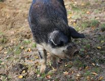 Mangalica pig, Sus scrofa domesticus. Close up Mangalica pig on field Royalty Free Stock Photos