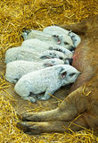 Mangalica piglets. Hungry mangalica piglets are suckling Stock Image