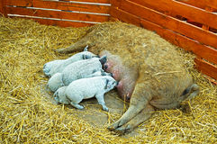 Mangalica piglets are suckling Stock Photo