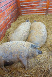 Mangalica pigs in the hutch. Outdoor Stock Image