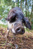 Mangalica snout. Beautiful hairy Swallow-bellied Mangalica pig Sus Scrofa, a Hungarian breed of domestic pig with a thick and woolly coat, in the forest in the Stock Photos