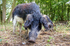 Mangalica sus scrofa. Beautiful hairy Swallow-bellied Mangalica pig Sus Scrofa, a Hungarian breed of domestic pig with a thick and woolly coat, in the forest in Royalty Free Stock Images