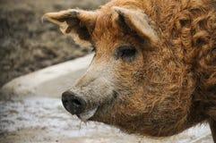 Mangalica świnia Obraz Royalty Free