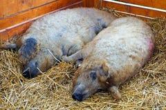 Mangalica świnie Obrazy Royalty Free