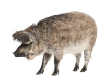 Mangalitsa or curly-hair hog Stock Photography