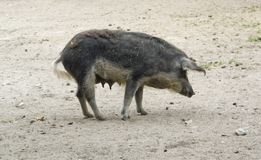 Mangalitsa pig Royalty Free Stock Photo