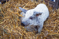 Mangalitsa pig Stock Photography