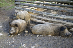 The mangalitsa pigs. The brood is developed from older types of Hungarian pig crossed with the European wild boar and serbian breed in Austro-Hungary in 19th Royalty Free Stock Photo