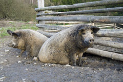 The mangalitsa pigs Royalty Free Stock Images