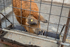 Mangalitza pig eating. Red furred Mangalitza pig eating from his trough behind a metallic fence Stock Images