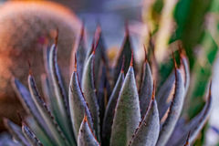 Mangave Bloodspot Succulent. The pointed red spines of a gorgeous Mangave Bloodspot succulent glow against the backdrop Royalty Free Stock Photography