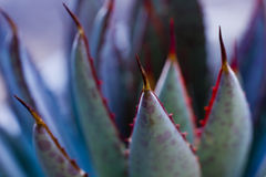 Mangave Bloodspot Succulent Spines. The red and black spine tips of a Mangave Bloodspot succulent gleam wickedly Stock Photos