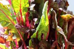 Mange ist eine Vitaminanlage Ein Bündel Blätter von frischem Burgunder lizenzfreies stockbild