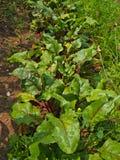 Mangelwortel het groeien in tuin Royalty-vrije Stock Fotografie