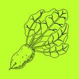 Mangelwurzel, a root vegetable, line illustration. Vector Stock Photos