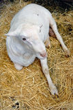 Manger lamb resting on the hay. Upper view Royalty Free Stock Image