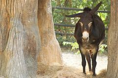 Manger mule Royalty Free Stock Image