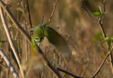 Mangeur d'abeille vert Image libre de droits