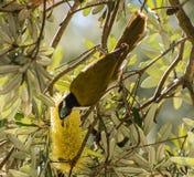 Mangeur fait face bleu de miel se nourrissant de la fleur de yello Photographie stock libre de droits