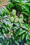 Manghi che appendono sull'albero Fotografia Stock Libera da Diritti