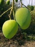 Manghi di Alphonso Fotografia Stock Libera da Diritti
